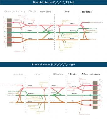 brachial plexus schematic - photo #24