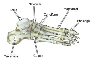 foot bone anatomy: overview, tarsal bones - gross anatomy, Human Body