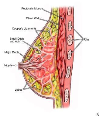 Breast anatomy.