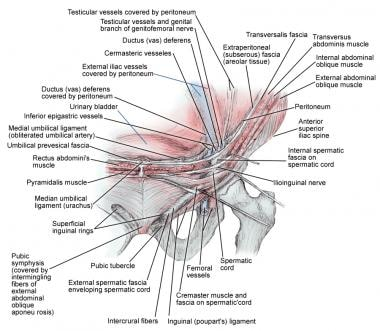 inguinal region anatomy: overview, gross anatomy, Human body
