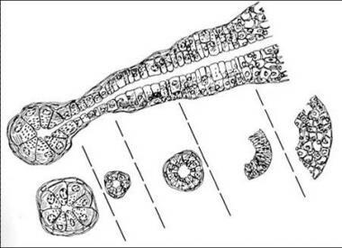 Histologic architecture of the salivary glands.