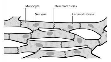 Cardiac muscle cells.