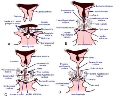 Rostral to caudal (A->D) coronal sections of the h