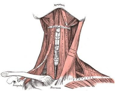 neck anatomy: overview, quadrangular area, osteology: the cervical, Muscles