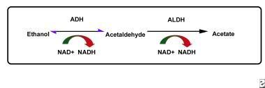 The pathway of ethanol metabolism. Disulfiram redu