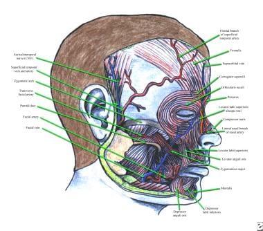 Anatomy of frontalis, corrugator supercilii, proce