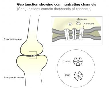 Myocardial gap junctions.