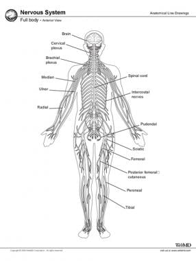 Nervous system, full body, anterior view.
