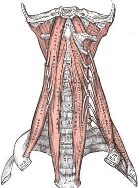 The anterior vertebral muscles.