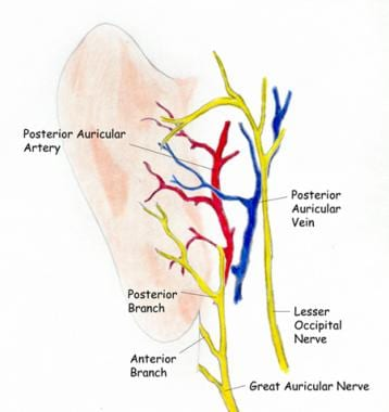 Anatomy of the posterior (medial) surface of the e