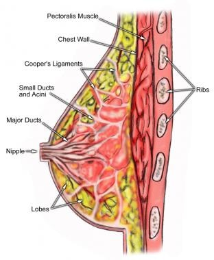 Anatomy of the breast.