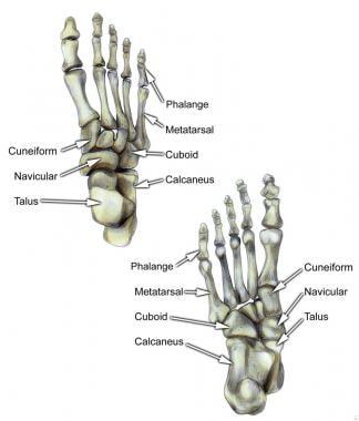 Select bones of the foot (dorsal and plantar views