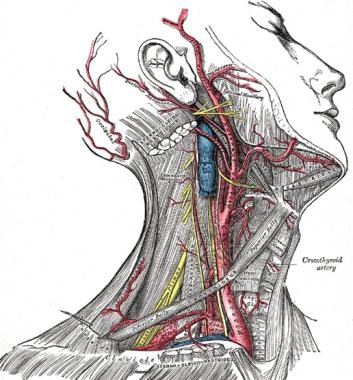 neck anatomy: overview, quadrangular area, osteology: the cervical, Human Body