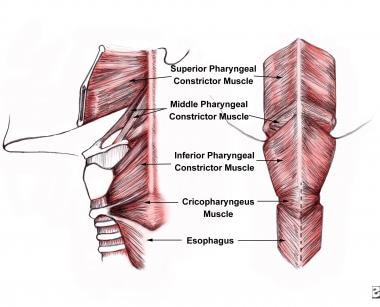 Anatomic location of the cricopharyngeus muscle.