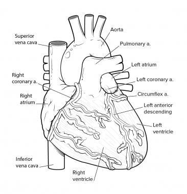 Анатомия сердечно сосудистой системы Коронарное кровообращение.  Анатомия сердечно сосудистой системы Анатомия сердечно сосудистой системы 12529tn