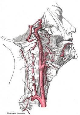 The internal carotid and vertebral arteries.