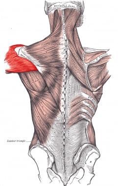 Deltoid muscle.