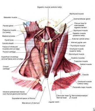 Anterior view of the muscles of the neck.