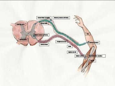 Peripheral Nervous System Anatomy: Overview, Gross Anatomy ...