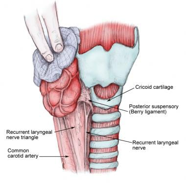 Relation of the recurrent laryngeal nerve to the c