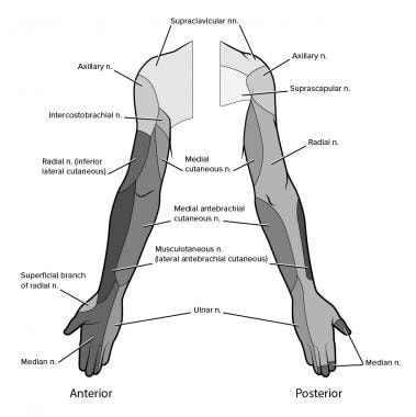 Innervation of the arms and hands.