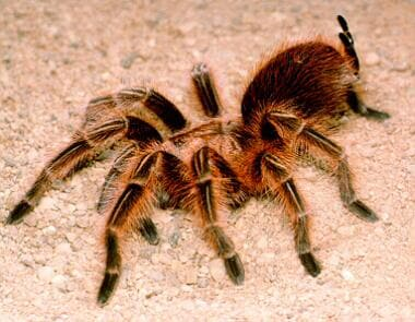 The Chilean rose tarantula. The urticating hairs a