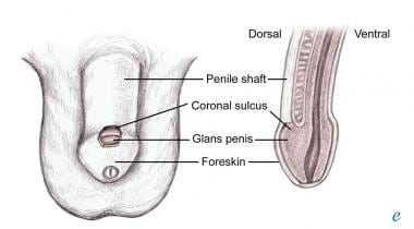 Anatomy of the penis.