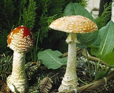 Fly agaric (Amanita muscaria).
