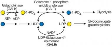 UDP-galactose synthesis and galactosemia. The most