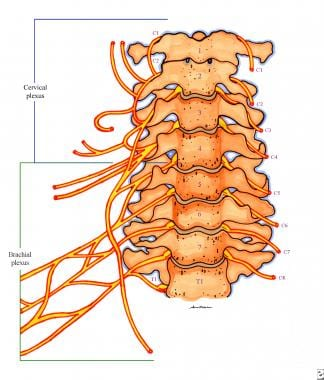 Anatomy of the cervical nerves (anterior view).