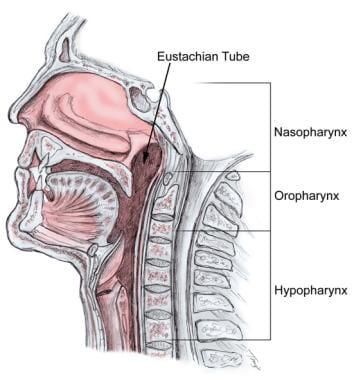 Anatomy of the pharynx.