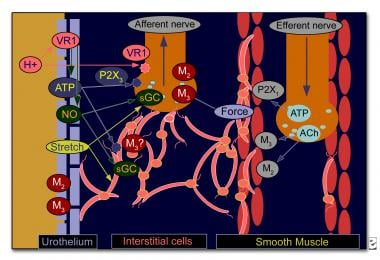 Communication between the urothelium and the subur