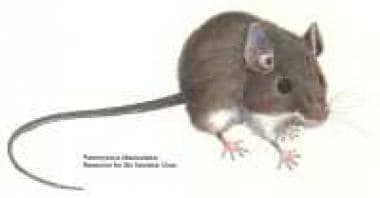 Deer mouse, Peromyscus maniculatus. Courtesy of th