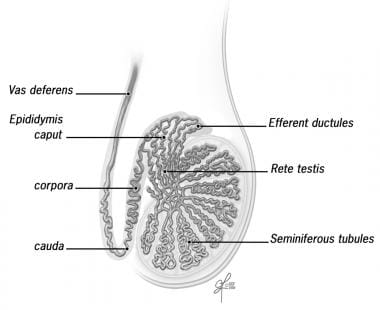 Sperm is produced in the seminiferous tubules and