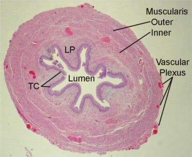 Histology of the ureter. LP = lamina propria; TC =