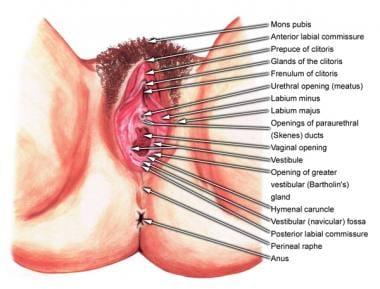 External female genitalia.