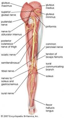 Posterior view of the leg, showing the sciatic ner