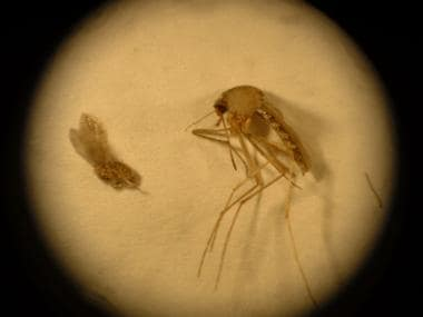 Comparison of a sandfly (left) and a mosquito (rig