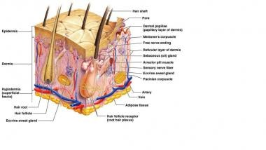 Detailed diagram of the skin. Courtesy of Wikispac