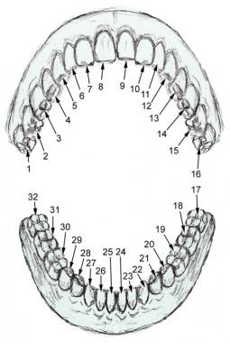 Numbering of adult teeth.