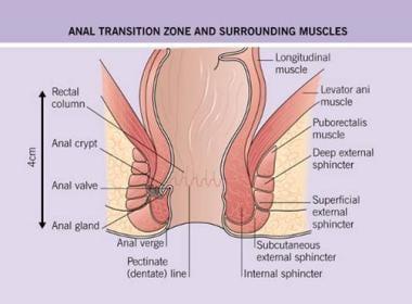 Anatomy of anal transition zone and surrounding mu