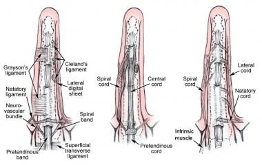 Parts of the palmar and digital fascia that become