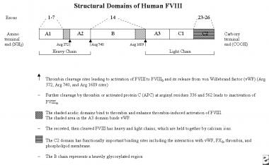 Structural domains of human factor VIII. Adapted f