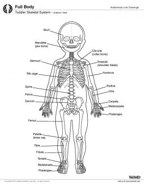 Skeletal system of toddler, anterior view.