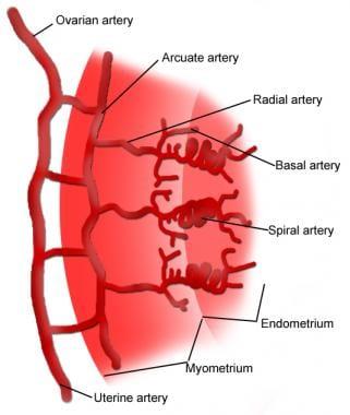 The uterine blood supply.