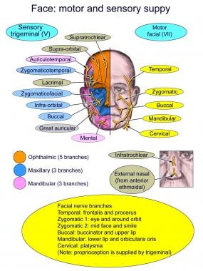 Motor and sensory facial innervation by the facial