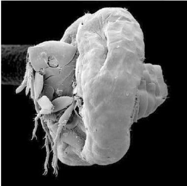 Scanning electron micrograph of flea on day 3 afte