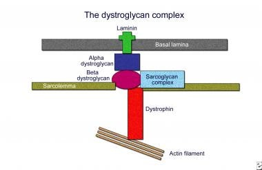 Structure of the dystroglycan complex (adapted fro