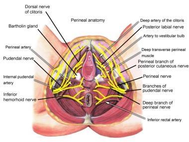 Bartholin gland nerve innervation