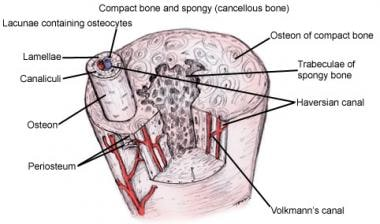 Anatomy of bone.